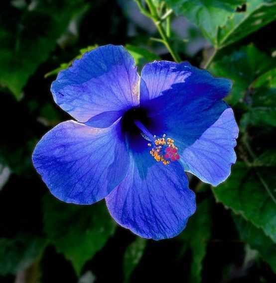 Blue Hibiscus.  Thought the first one had died, bought a replacement and planted it 14/6/14 only to find the first one flourishing in a forgotten corner.
