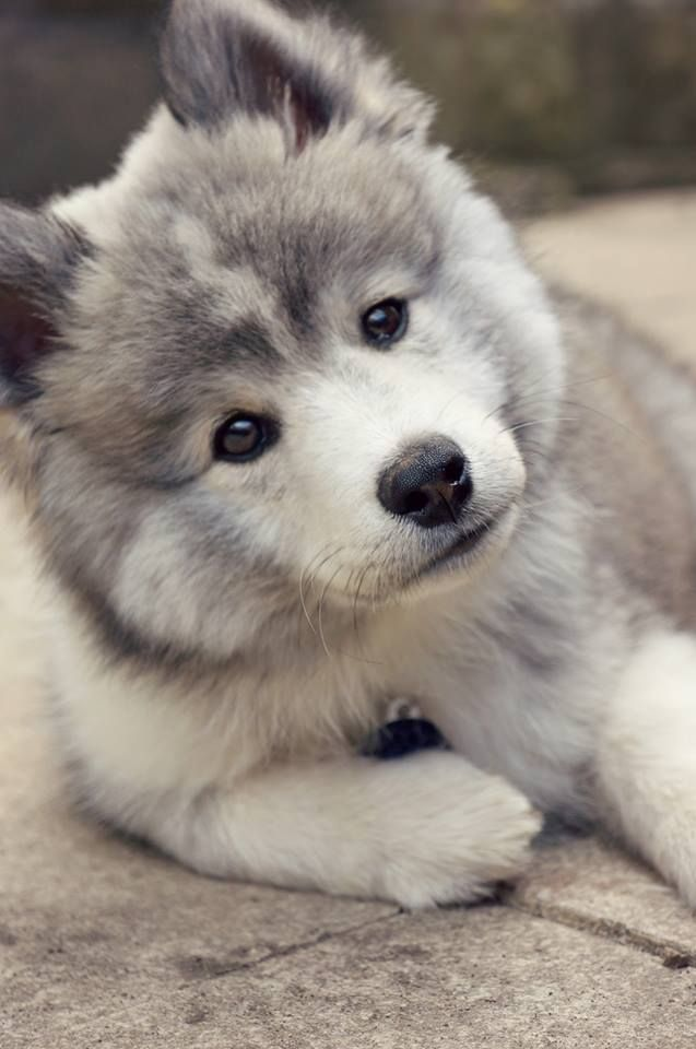 Pomsky <3 Turn your screen slightly to the left... He's looking at you.... How beautiful is he!!!