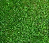 Beautiful, eco lawn alternatives!  This mix includes Dwarf Perennial Rye Grass, Turf Type Fescues and MicroClover.  Once established it requires little supplemental irrigation or fertilizer.