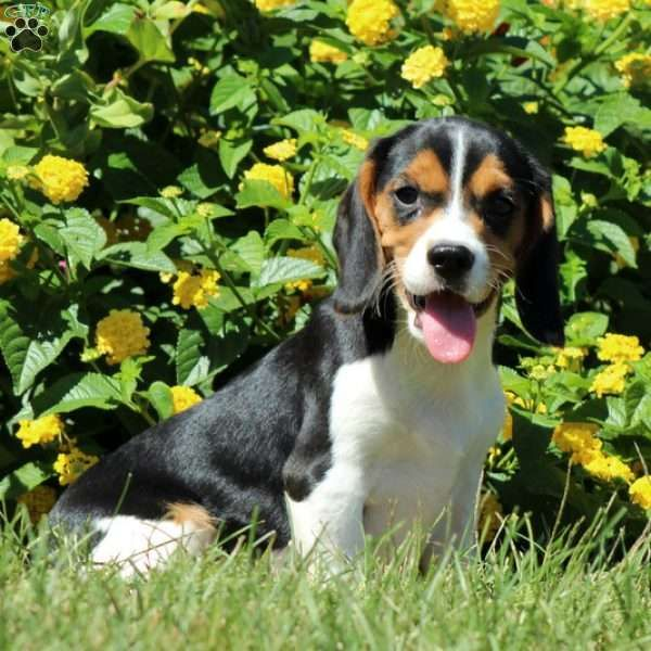 Jessen is a friendly, yet laid back Beaglier puppy who is looking for a forever home. This pup is affectionate and vet checked and current on shots and wormer. Jessen also has a health guarantee that the breeder is providing. If you would like to find out more about Jessen please contact the breeder.