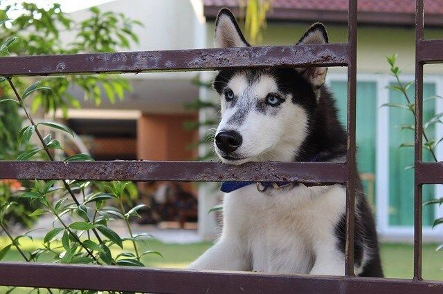 Siberian Husky Dogs Husky Peaking Out Of Fence Siberian Husky