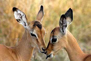 baby impala antelope kruger park south africa cute. Black Bedroom Furniture Sets. Home Design Ideas