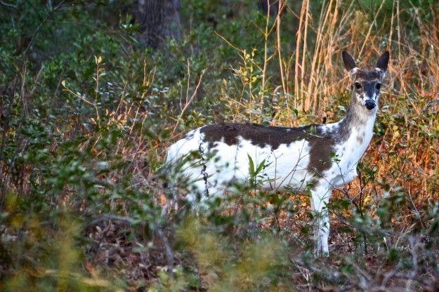 calico+deer | calico piebald deer georgetown south carolina