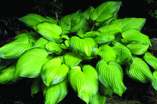 Hosta 'Guacamole' HOSTA View Plant | Great Plant Picks