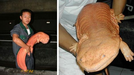 Chinese Giant Salamander    (Images via xinhuanet and ZSL)  Something tells us these giant salamanders were never called for in any witch's recipe. Seriously, look at that thing! That lives under some people's porches!