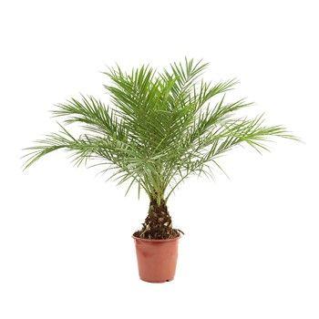 Les 25 meilleures id es concernant palmier phoenix sur for Plante interieur en ligne