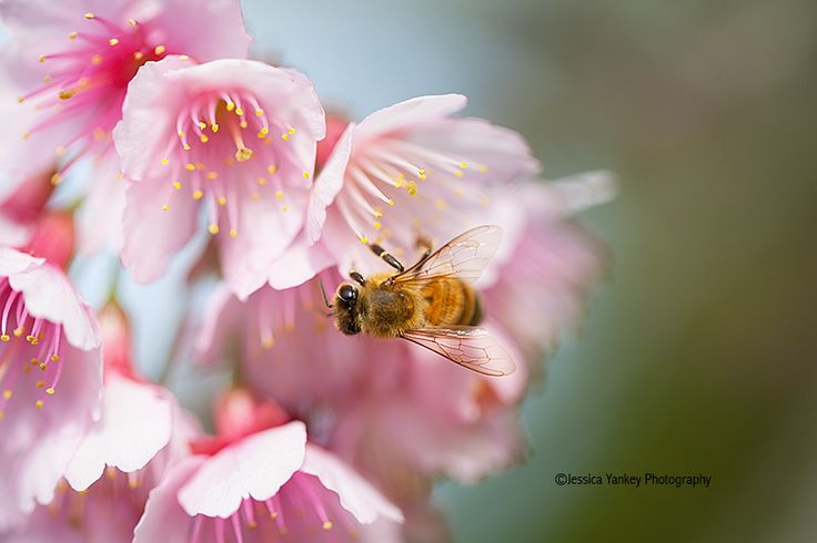 Photograph Sakura Bee by Jessica Yankey on 500px