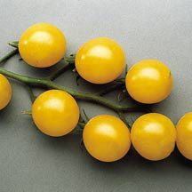 """Tomato Gold Nugget- Origin Oregon State University- Growth determinate- Variety Cherry- These fruit ripen majority of the early fruit have few seeds. They are deep yellow have rich, sweet flavor 1-1 ¼"""" diameter round to slightly ovals and the flavor is well balanced work good in cool weather"""