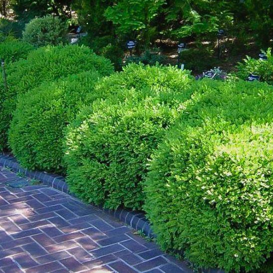 how to move boxwood shrubs