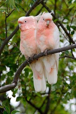 Australian Bird - Major Mitchell's Cockatoo (Cacatua leadbeateri),adult pair,perched together in tree
