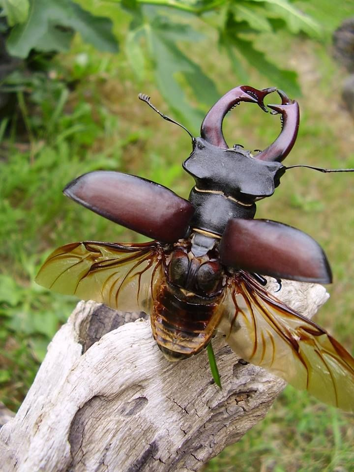 szarvasbogár vliegend hert. I don't know what that means but I think that is a Stag Horn beetle.