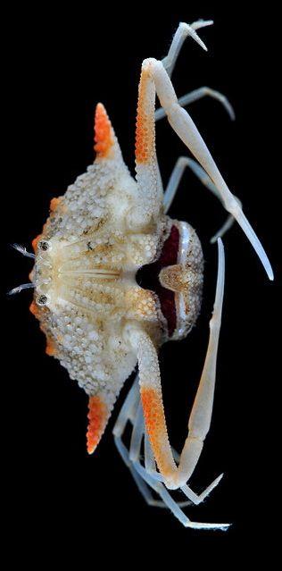 Deep-water Pebble Crab <3