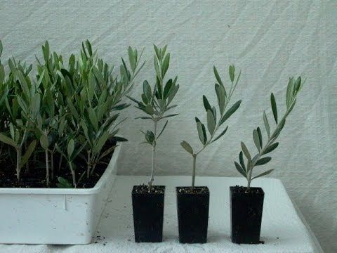 ▶ How to grow olives from seeds - YouTube