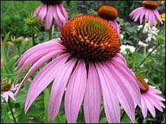 МОЖЕТ БЫТЬ, И НЕ ПАНАЦЕЯ, НО ОЧЕНЬ ЦЕЛЕБНАЯ ЭХИНАЦЕЯ.. Хочу рассказать о лечебных свойствахэхинацеи. Это многолетнее травянистое растение высотой 50-100 см с пурпурными цветками, собраными в крупные корзинки, зацветает и плодоносит на втором году жизни.…