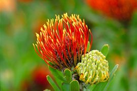 """Pin cushion"" at Kirstenbosch National Botanical Garden"
