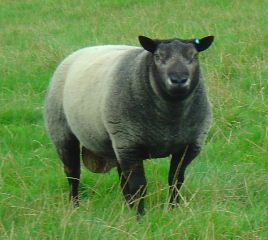 Blue Texel Sheep breeds, Sheep farm, Texel