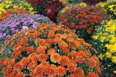 Care for fall mums... Stop watering after foliage stops being produced.  Cut back to ground level and cover with mulch.