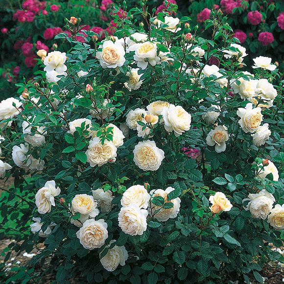 zon 4,engelska rosor,austinrosor,trädgård,aprikos