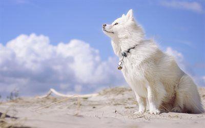 """壁紙をダウンロードする \""""盲導犬ふれあい, loparskayaハスキー, フィンランドのlapphund, 犬牛"""