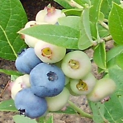 How to grow blueberries at home.