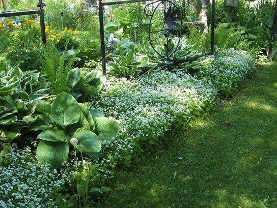 sweet woodruff | Sweet woodruff mingled inbetweeh hostas and other shade plants.