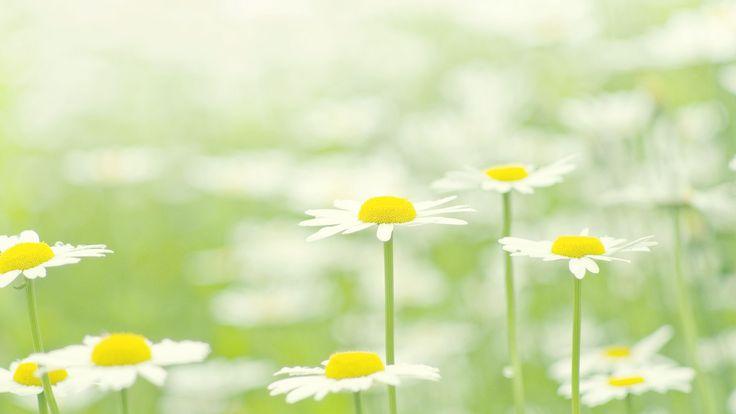 Asteraceae Marguerite White Flower - http://1080wallpaper.net/asteraceae-marguerite-white-flower.html