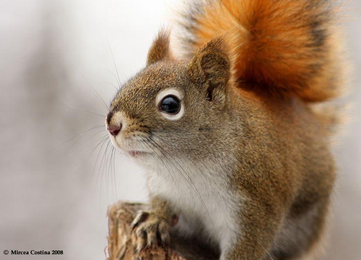 American Red Squirrel | alaskazoo.org