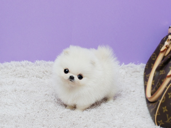 I want you. Cuties Pinterest Pomeranians, White