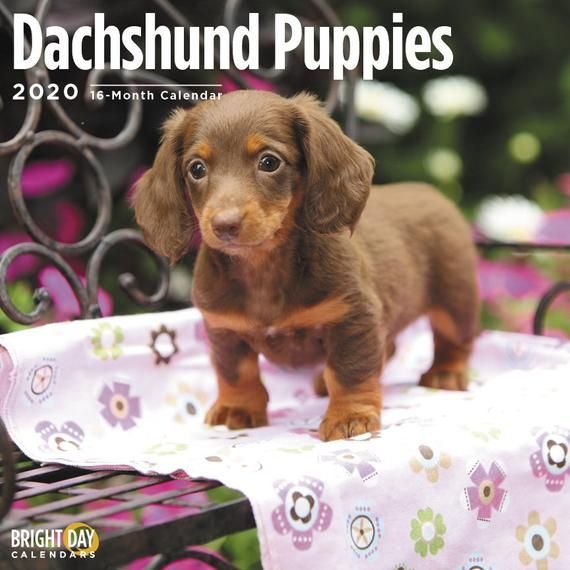 2020 Dachshund Puppies 16 Month 12 X 12 Wall Calendar Cute Weiner