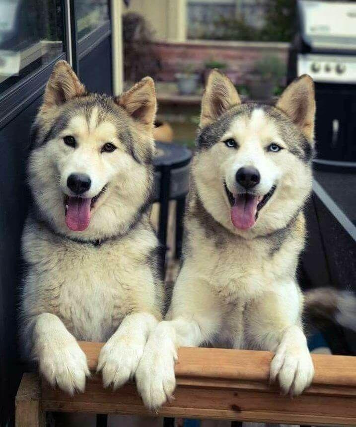 230 Twin Dog Names Dogs Cute Animals Haski Dog
