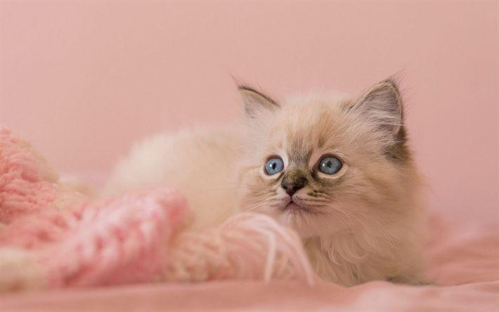 Lataa kuva kissat, ragdoll, lähikuva, pentu, siniset silmät, söpöjä eläimiä