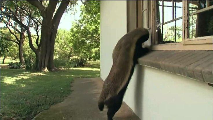 Honey Badger Narrates: Honey Badgers-Masters of Mayhem