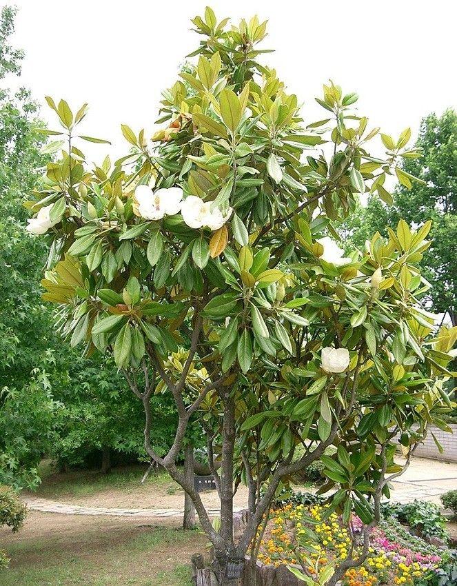 Ongebruikt Magnolia grandiflora | Magnolia growing - Zaden, Planten en Tuin JH-23