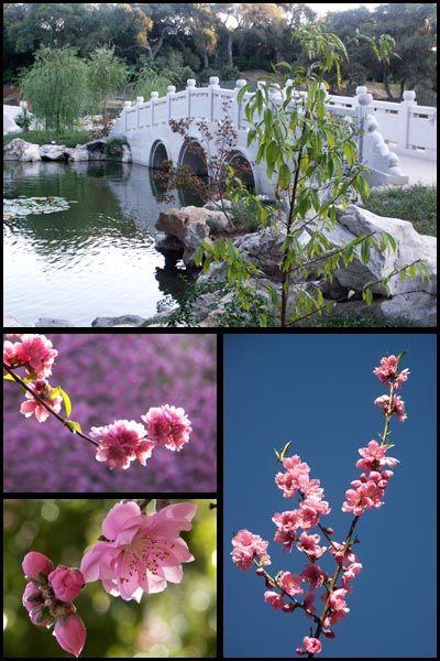 Pu's Homepage --- Gardens/Huntington Chinese Garden/Plants in the GardenP