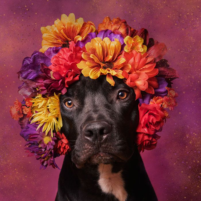 adoptar-perros-pitbull-flores-sophie-gamand (10)