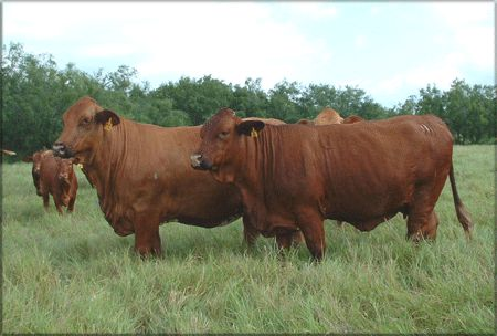 Beefmaster Cattle and Herd Bulls For Sale | Rancho Tres Hijos | Rancho Tres Hijos