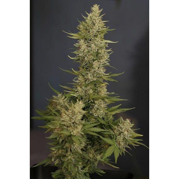 La verdad de las Semillas Autoflorecientes de Marihuana