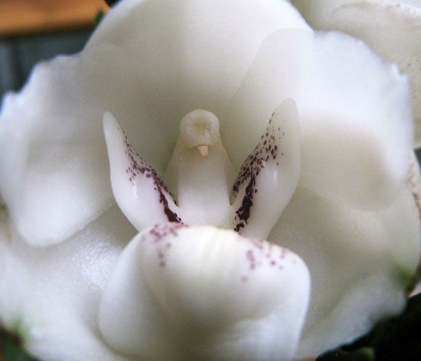PEACE DOVE ORCHID (PERISTERIA ELATA) 17 Flowers You Wont Believe Actually Exist.