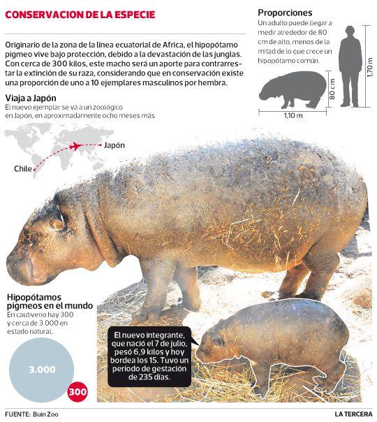 Cría de hipopótamo pigmeo nacida en Chile será donada a Japón