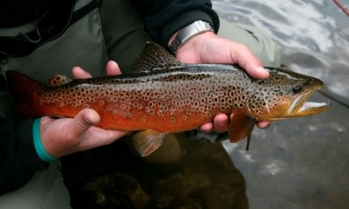 458 best steamboat springs co my home town images on for Best trout fishing in ct