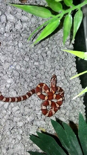classic corn snake - photo #43
