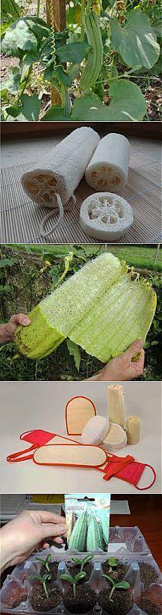 Люфа - растущая мочалка. Выращивание, применение