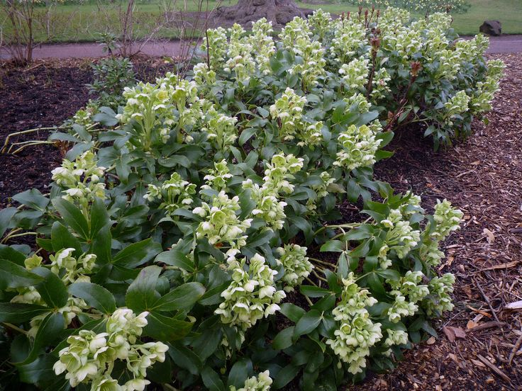 Helleborus argutifolius. Evergreen ground covering hellebore. Good foil for other perennials.