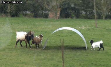 なにこれ楽しそうw ヤギがアーチ状の鉄板で遊ぶ姿にマジ癒される(*´д`*)