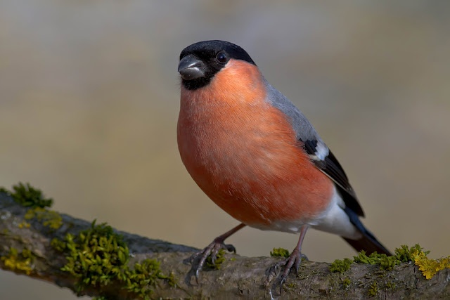 what a handsome little bird!! the bullfinch (pyrrhula pyrrhula), is a small passerine bird in the finch family fringillidae. this bird breeds across europe and temperate asia.