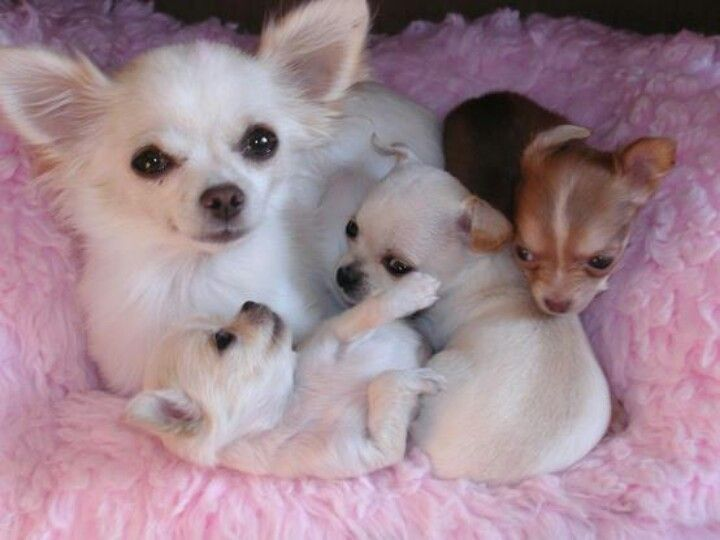 How Sweet Chihuahua Mom With Her Puppies Hund Chihuahua Susse