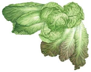 Learn the ins and outs of growing lettuce, such as which types to try, when to plant, how to plant, harvesting and storage techniques, how to save seeds, best uses in the kitchen, pest disease and prevention tips and general growing suggestions.