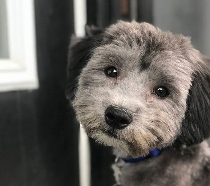 10 Best Havanese Haircuts For Your Puppy The Paws Havanese Haircuts Havanese Havanese Dogs