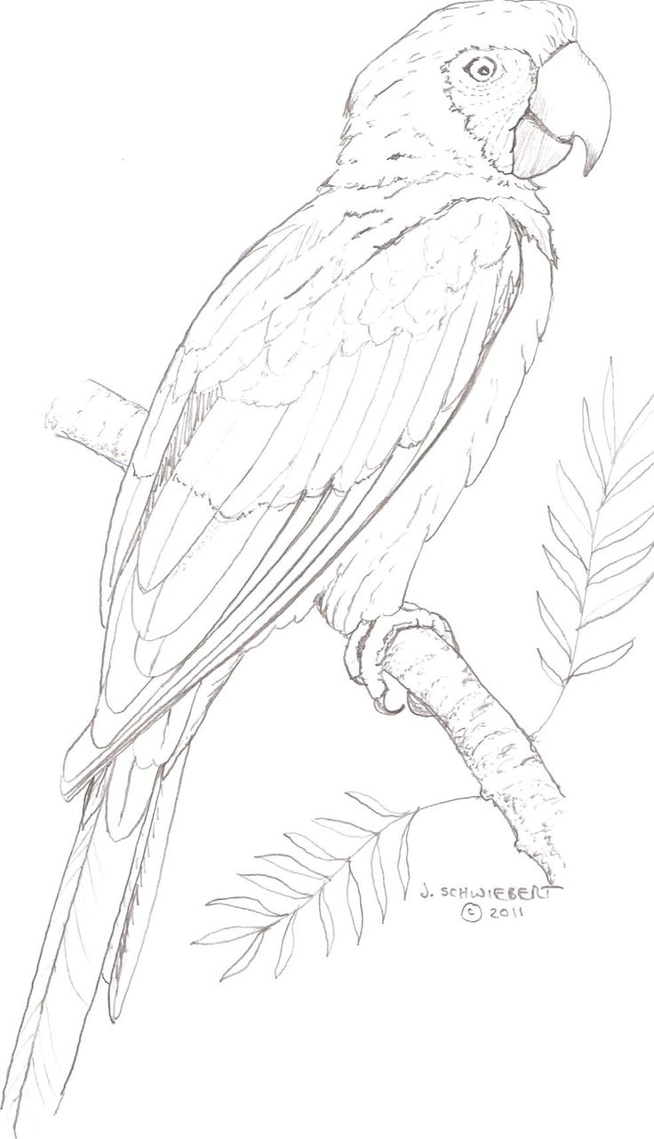 Macaw coloring page painting ideas pinterest for Macaw coloring page