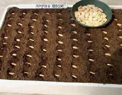 Pompoenen zaaien is leuk en gemakkelijk zelf kweken van pompoenen in de tuin